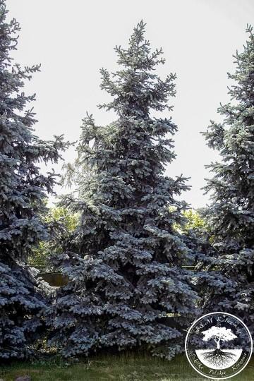 Picea pungens 'Hoopsii' (Świerk kłujący) - C5