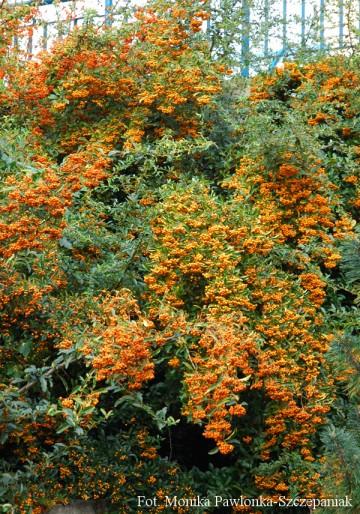 Pyracantha 'Orange Glow' (Ognik szkarłatny) - C5