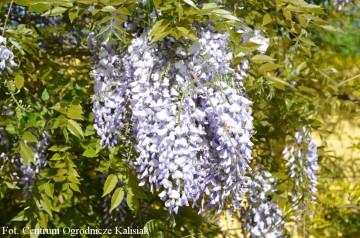 Wisteria sinensis 'Prolific'