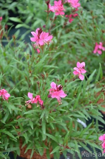 Gaura lindheimeri 'Gambit Rose' (Gaura Lindhaimera) - C2