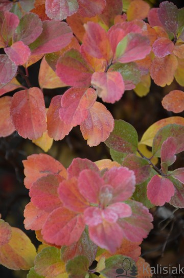 Spiraea betulifolia 'Tor Gold' (Tawuła brzozolistna) - C5