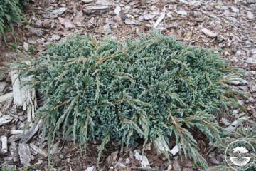 Juniperus squamata 'Blue Spider' (Jałowiec łuskowaty) - C5