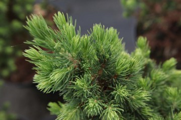 Picea glauca 'Biesenthaler Fruhling' (Świerk biały) - C2