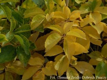 Parthenocissus quinquefolia 'Yellow Wall' (Winobluszcz pięciolistkowy) - C2