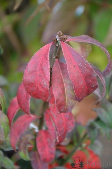 Euonymus alatus 'Fire Ball' (Trzmielina oskrzydlona) - C5