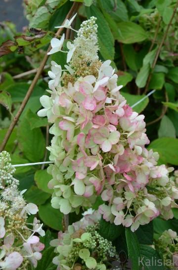Hydrangea paniculata PASTELGREEN 'Renxolor' (Hortensja bukietowa) - C6