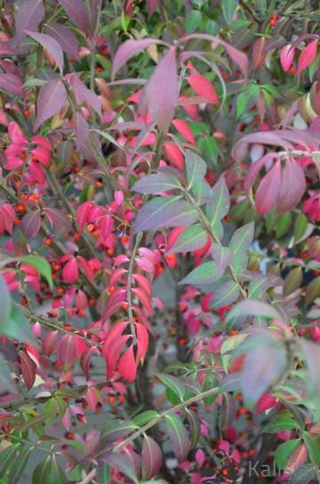 Euonymus alatus (Trzmielina oskrzydlona) - C5