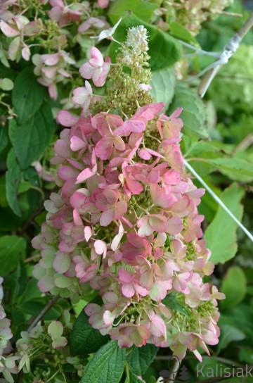 Hydrangea paniculata PASTELGREEN 'Renxolor' (Hortensja bukietowa) - C3