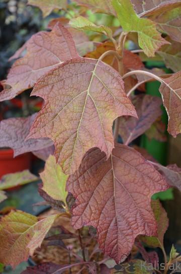 Hydrangea quercifolia 'Black Porch' (Hortensja dębolistna) - C5