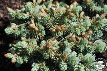 Picea pungens 'Oliwia' (Świerk kłujący) - C5