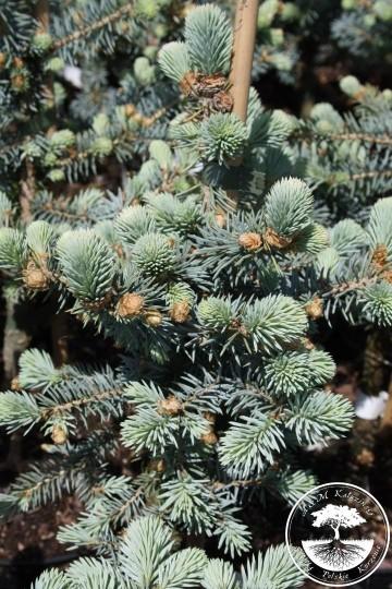 Picea pungens 'Blue Trinket' (Świerk kłujący) - C5