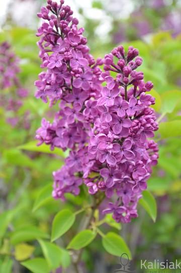 Syringa vulgaris 'Andenken an Ludwig Spaeth' (Lilak pospolity) - C5