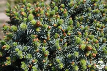 Picea sitchensis 'Tenas' (Świerk sitkajski) - C5