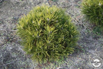 Pinus mugo 'Hesse' (Sosna kosodrzewina) - C5