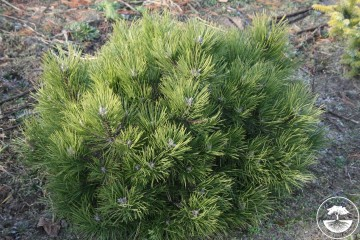 Pinus nigra 'Helga' (Sosna czarna) - C5