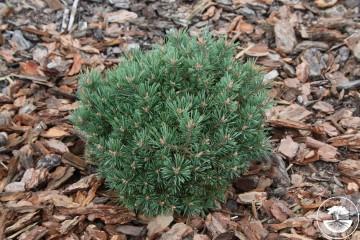 Pinus sylvestris 'Jerycho' (Sosna pospolita) - C5