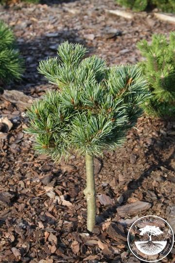 Pinus parviflora 'Beran' (Sosna drobnokwiatowa) - C5 PA