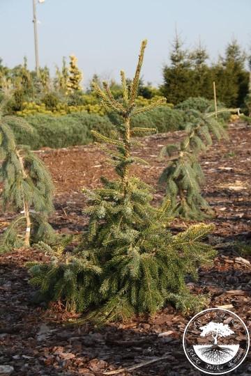 Picea omorika 'Rainbow' (Świerk sebrski) - C5