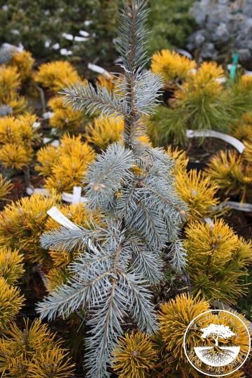 Picea pungens 'Pendula Wojsławice' (Świerk kłujący) - C5