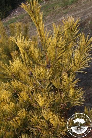 Pinus densiflora 'Aurea' (Sosna gęstokwiatowa) - C5