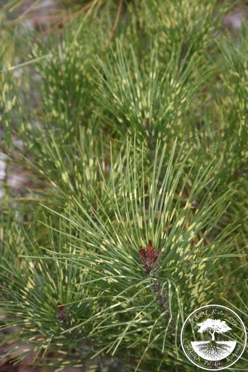 Pinus densiflora 'Burke's Red Variegated' (Sosna gęstokwiatowa) - C5