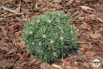 Pinus mugo 'Skalka' (Sosna kosodrzewina) - C5