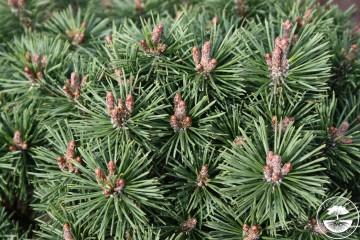 Pinus mugo 'Mops Midget' (Sosna kosodrzewina) - C5