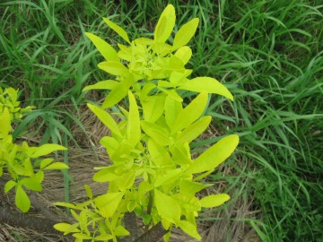 Ptelea trifoliata 'Aurea' (Parczelina trójlistkowa) - C5