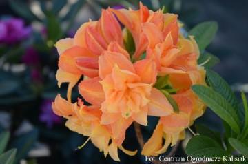Rhododendron 'Csardas' (Azalia wielkokwiatowa) - C4