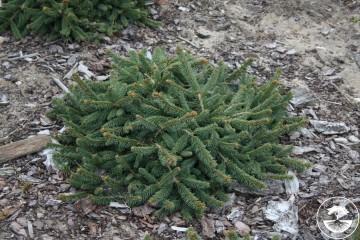 Picea abies 'Procumbens' (Świerk pospolity) - C5