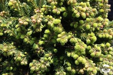Picea abies 'Hexenbesen' (Świerk pospolity) - C5