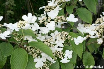 Viburnum plicatum 'St Keverne' (Kalina japońska) - C5