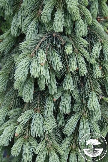 Picea glauca 'Pendula' (Świerk biały) - C5