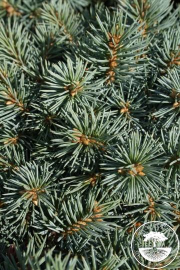 Picea pungens 'Brynek' (Świerk kłujący) - C5