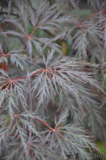 Acer palmatum 'Garnet' (Klon palmowy) - C7,5 PA