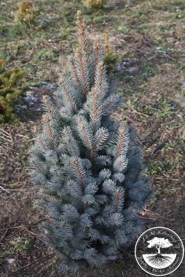 Picea pungens 'Columnaris Glauca' (Świerk kłujący) - C5