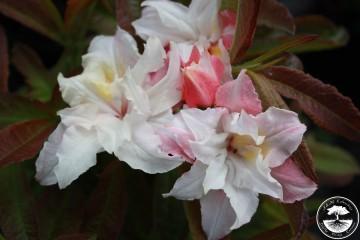 Rhododendron 'Jack A. Sand' (Azalia wielkokwiatowa) - C4