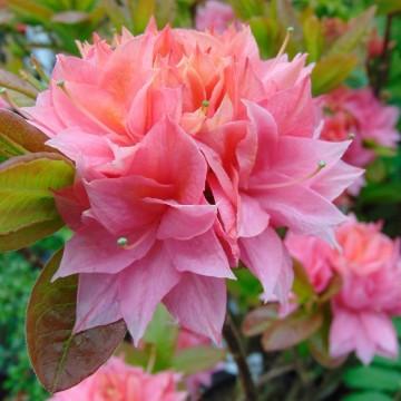 Rhododendron 'Kilian' (Azalia wielkokwiatowa) - C4