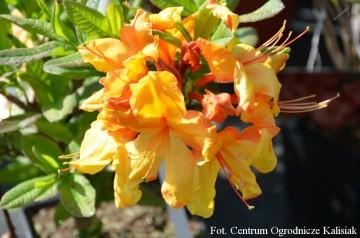 Rhododendron 'Sunte Nectarine' (Azalia wielkokwiatowa) - C4