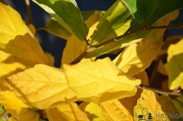Hamamelis vernalis 'Lombart's Weeping' (Oczar pośredni) - C7,5