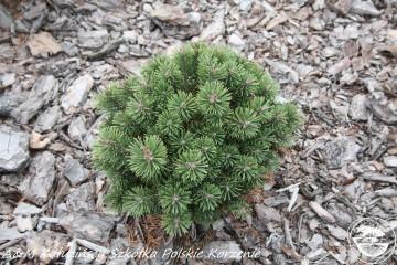 Pinus mugo 'Kokos' (Sosna kosodrzewina) - C5