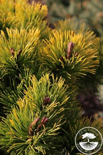 Pinus mugo 'Little Goldstar' (Sosna kosodrzewina) - C5