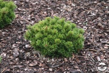 Pinus densiflora 'Edsal Wood' (Sosna gęstokwiatowa) - C5