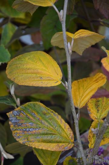 Hamamelis x intermedia 'Aurora' (Oczar pośredni) - C7,5