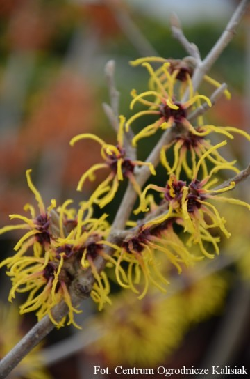 Hamamelis x intermedia 'Orange Beauty' (Oczar pośredni)  - C7,5