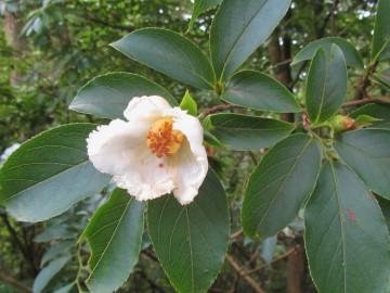 Stewartia rostrata (Stewarcja dzióbowata) - C5