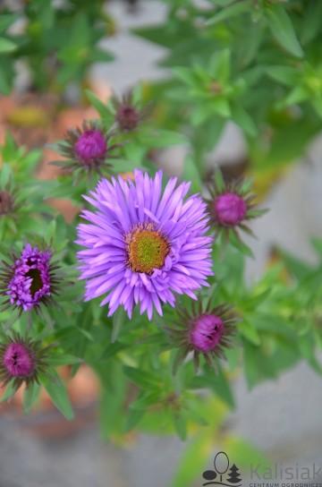 Aster novae-angliae 'Purple Dome' (Aster nowoangielski) - C2