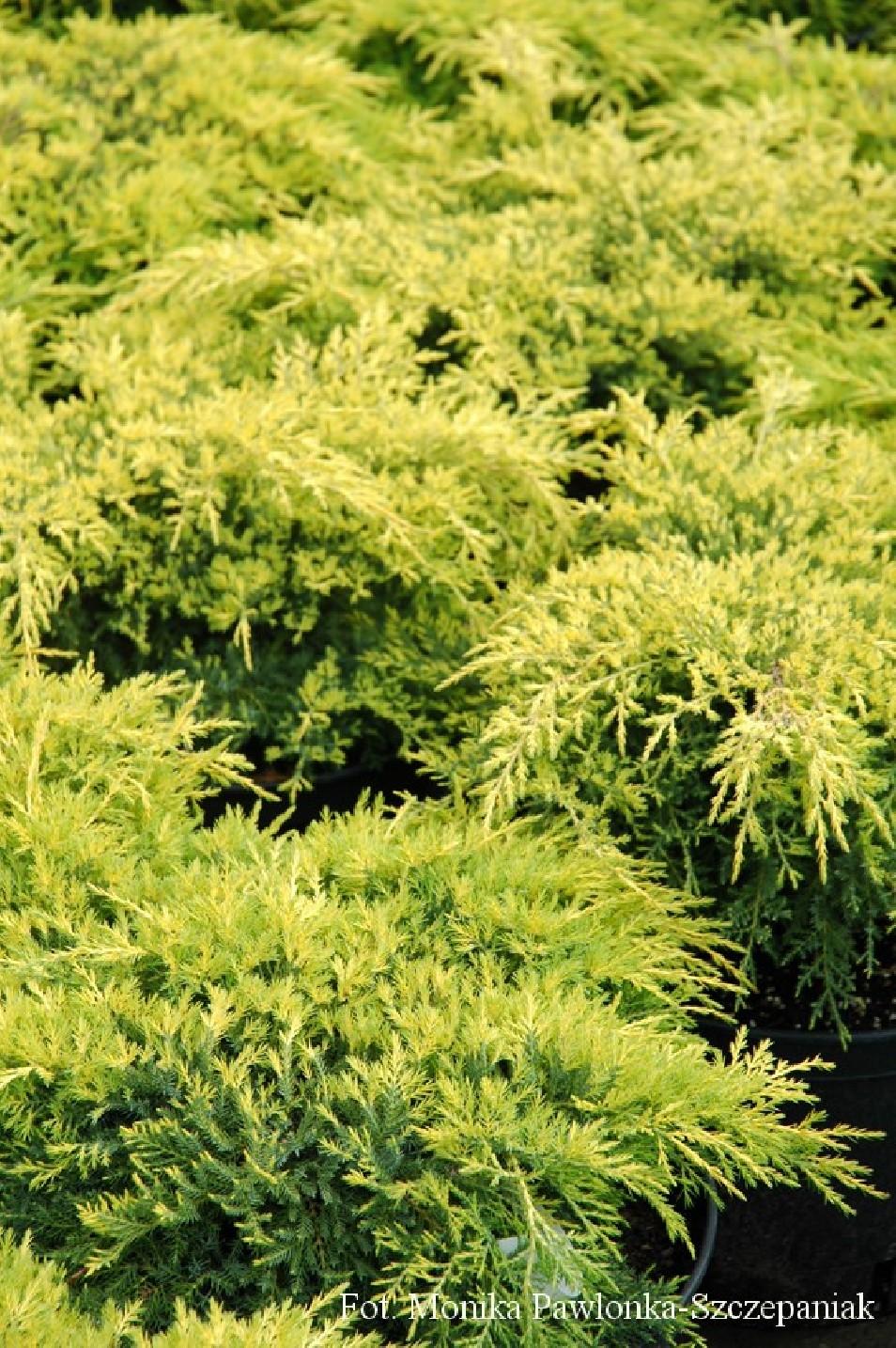 Juniperus x pfitzeriana 'Gold Star'