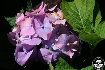 Hydrangea macrophylla 'Bella' (Hortensja ogrodowa) - P16