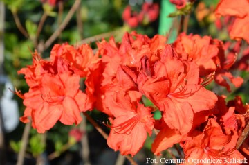 Rhododendron 'Feuerwerk' (Azalia wielkokwiatowa) - P16 PA